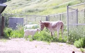Goat and Donkey Happy