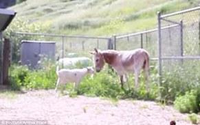 Goat and Donkey Happy