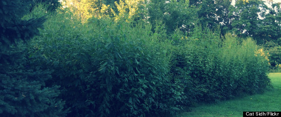 Giant ragweed (seen in the file photo above) is not marijuana.