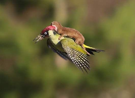 A Weasel weaseling himself a free ride . (Credit: Martin Le-May)