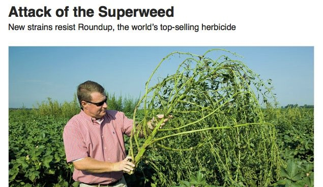 Genetically modified crops induce an attack of superweeds